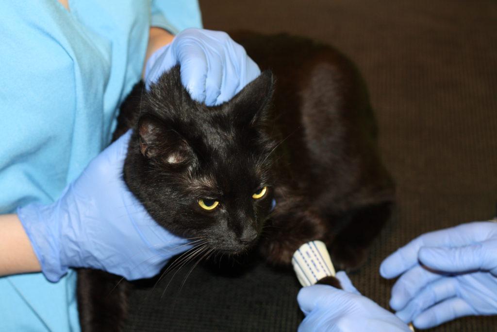 """Измерение кровяного давления коту в ветеринарной клинике """"Айболит Плюс"""""""