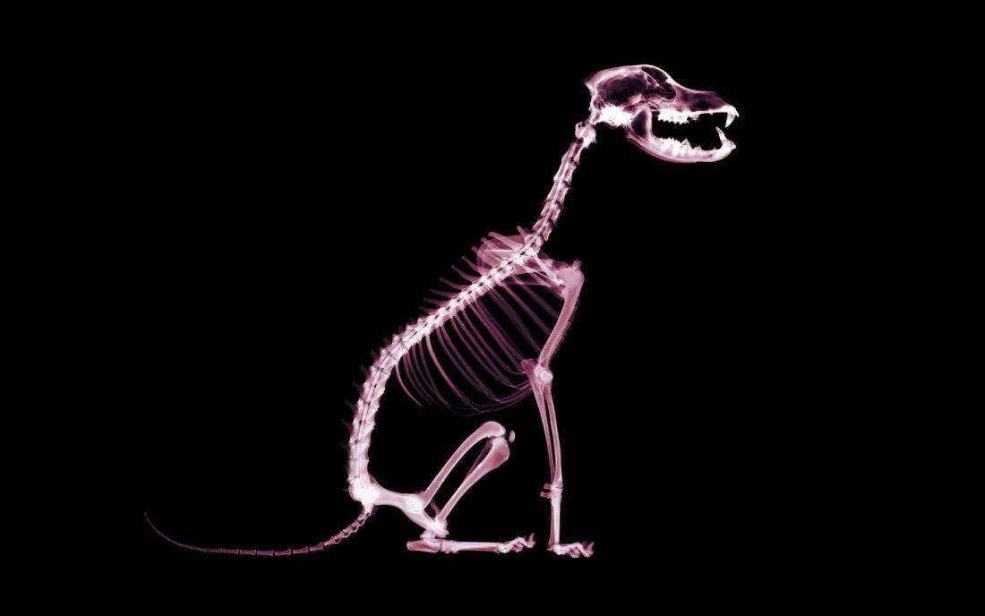 Рентген снимок собаки