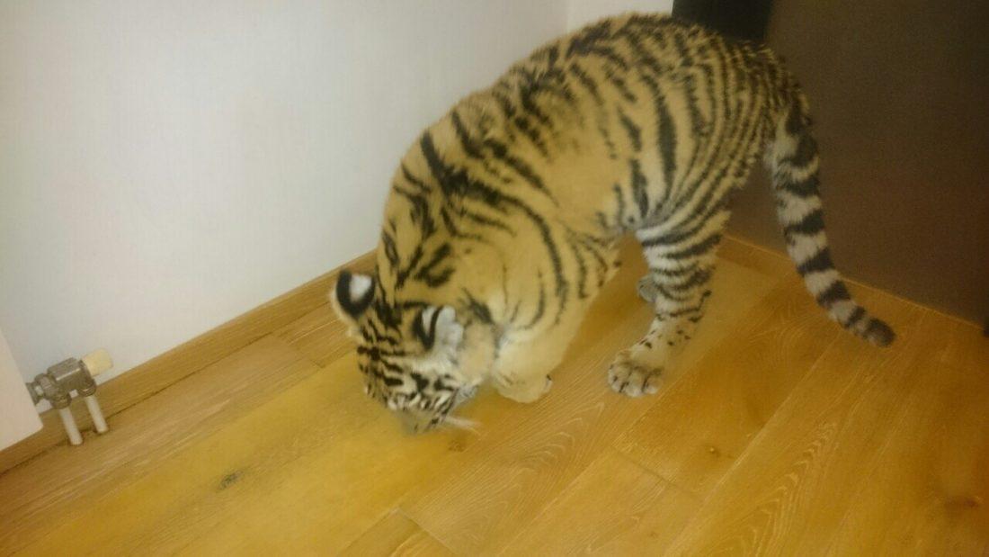 тигр с больной лапой