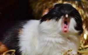 Зубы морской свинки