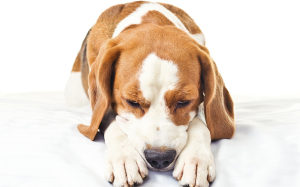 Рвота у собаки