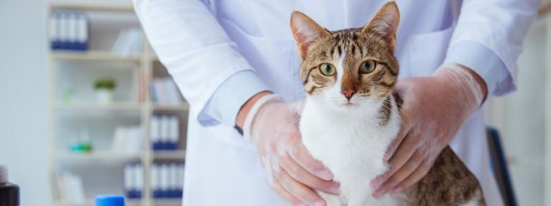 Кошка в ветеринарной клинике