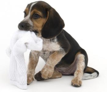 Собака ест носок