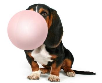 Собака ест жевачку