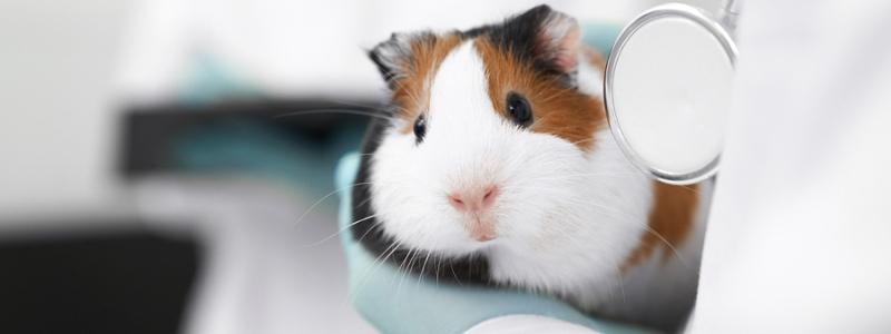Хомяк на лечение у ветеринара
