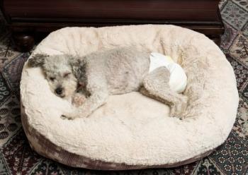 Собака с недержанием мочи в подгузнике