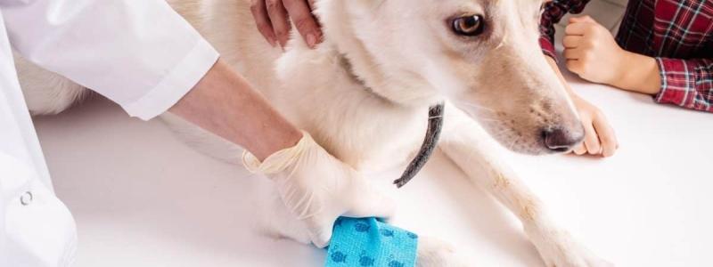 Собака с травмой лапы на приеме у травматолога