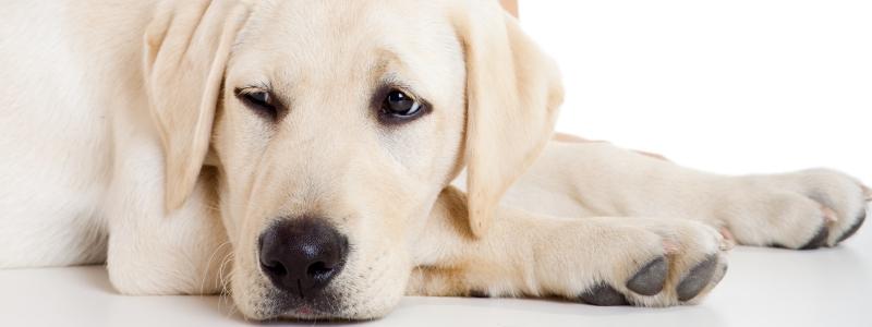 Симптомы короновируса у собаки
