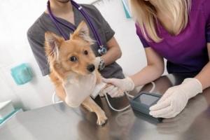 Измерение давления у собаки