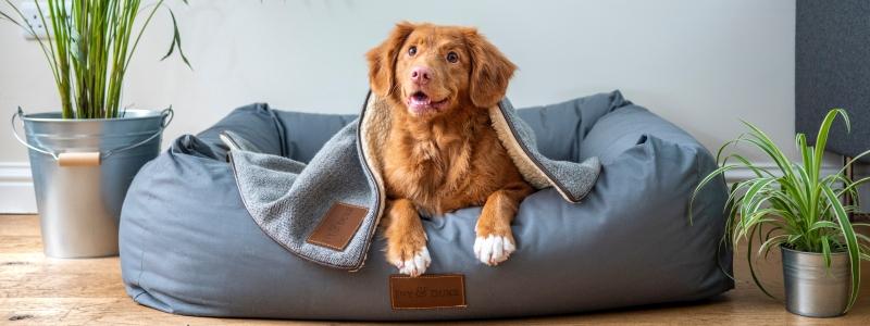 Кастрированная домашняя собака