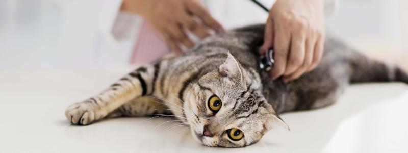 Кошка у ветеринара
