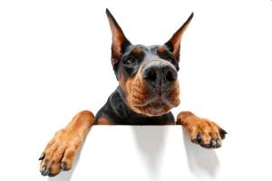Собака с купированными ушами