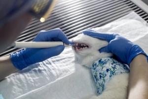 Удаление зубного камня коту ультразвуком