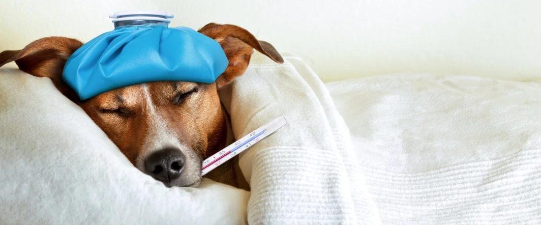 Анемия у собаки