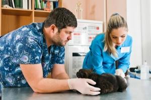 Ветеринар осматривает хвост кота