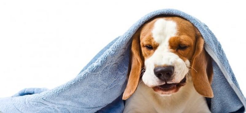 Коллапс трахеи у собаки - симптомы