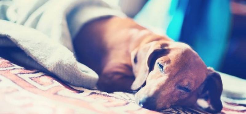 Собака с парвовирусным энтеритом
