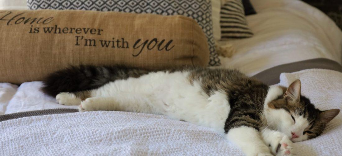 домашняя кошка спит