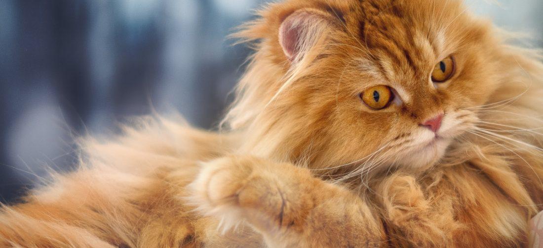 кот с пушистой шерстью